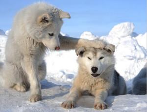cuccioli-di-Lupo-Bianco