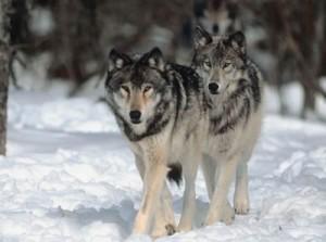 wolf_500