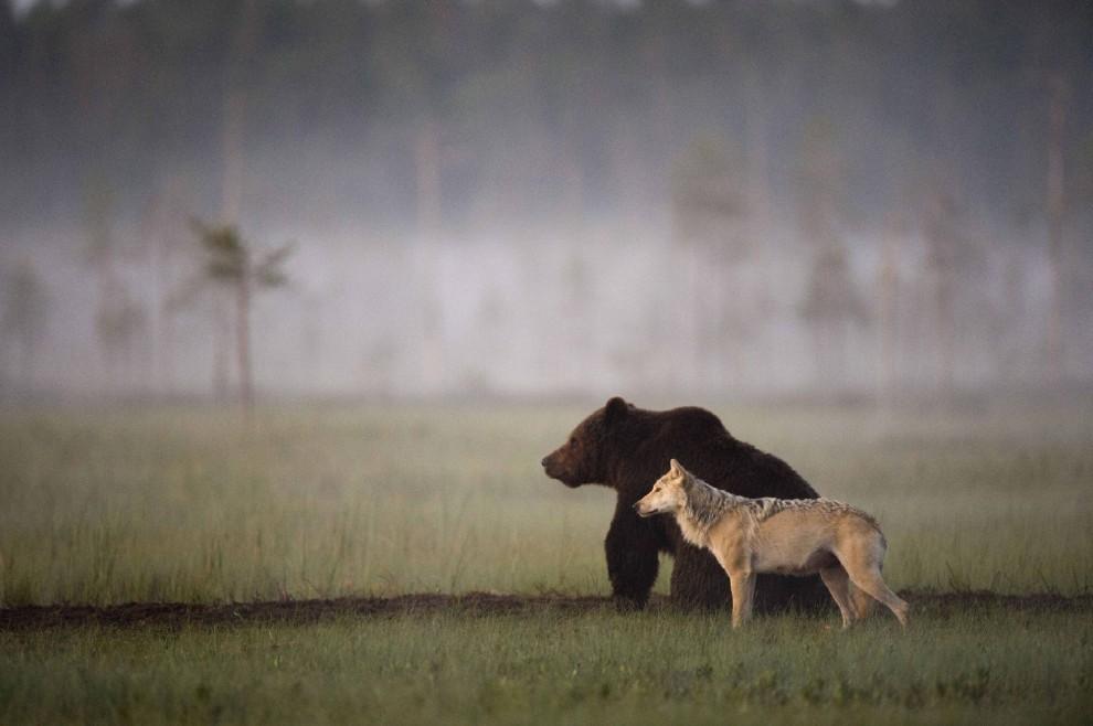 lupo-orso-bruno