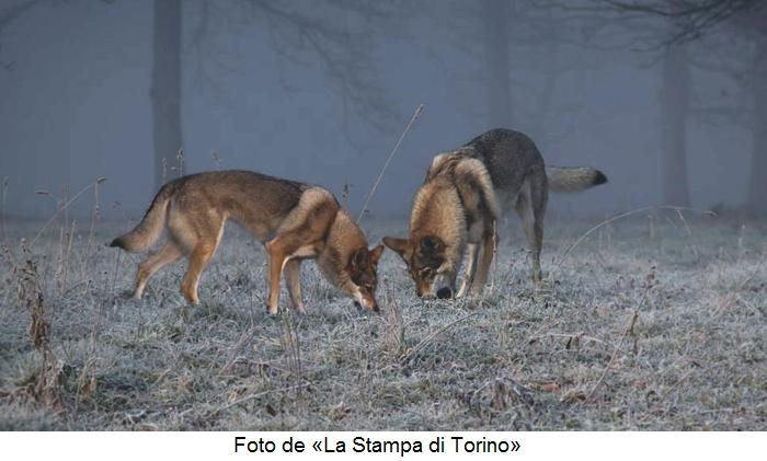 Lupi-Stupinigi.La.Stampa.di.Torino